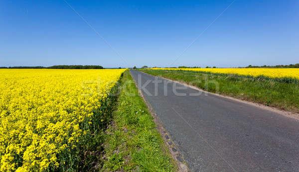 Oilseed rape blossoms Stock photo © backyardproductions