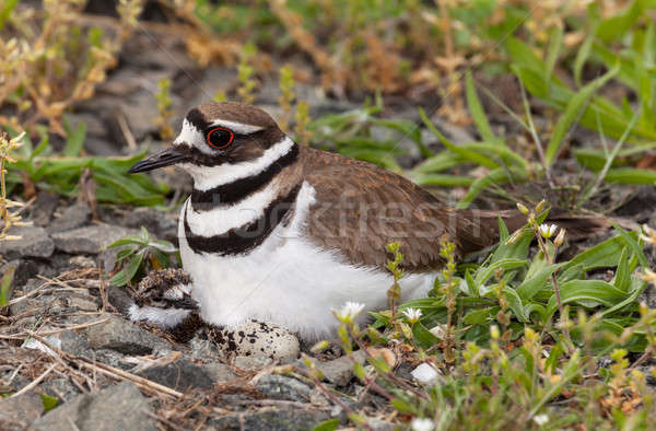 Killdeer bird sitting on nest with young Stock photo © backyardproductions
