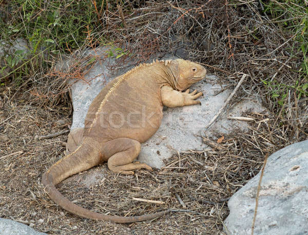 Galapagos land iguana in arid part of islands Stock photo © backyardproductions