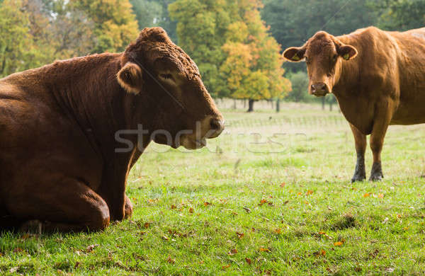 Large brown cow resting in meadow Stock photo © backyardproductions
