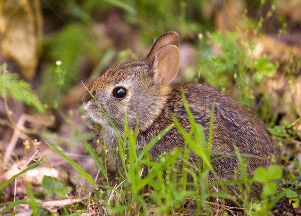 Bebek tavşan orman sevimli küçük zemin Stok fotoğraf © backyardproductions