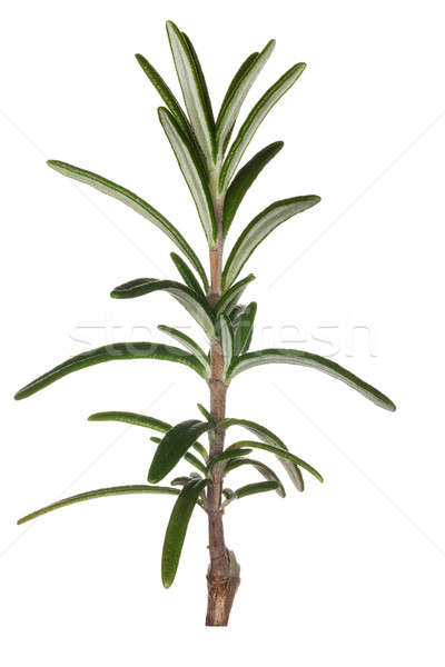 Macro rosemary herb isolated against white Stock photo © backyardproductions