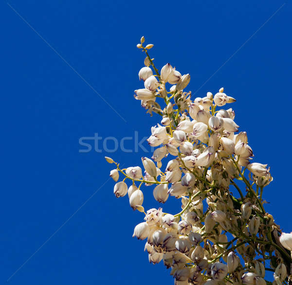 Mojave Yucca blossoms against blue sky Stock photo © backyardproductions