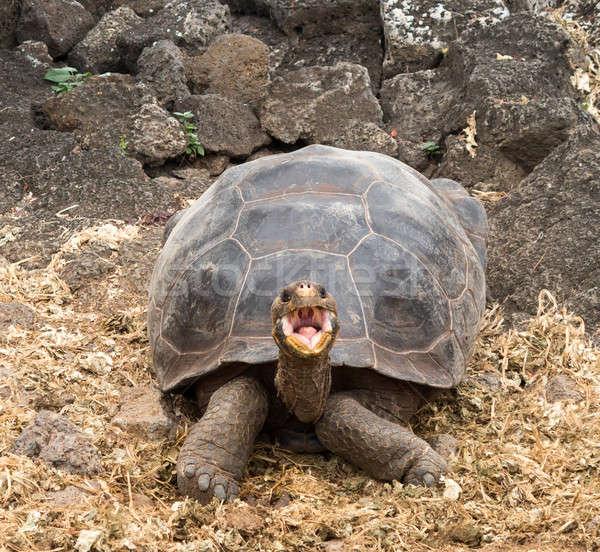 Nagy óriás teknősbéka teknős egyedi száj Stock fotó © backyardproductions