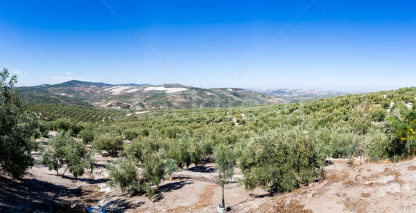Olive trees reaching to horizon in Andalucia Stock photo © backyardproductions