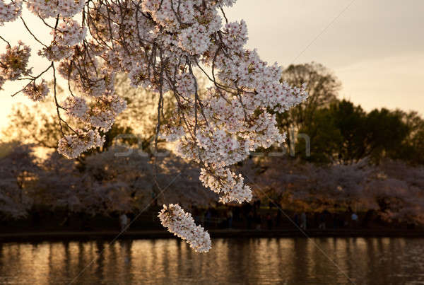 Cherry blossoms against sunset Stock photo © backyardproductions