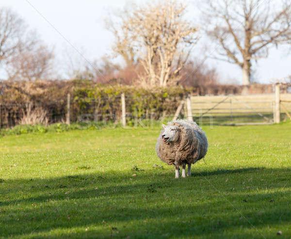 Owiec łące walia ilość wełny Zdjęcia stock © backyardproductions