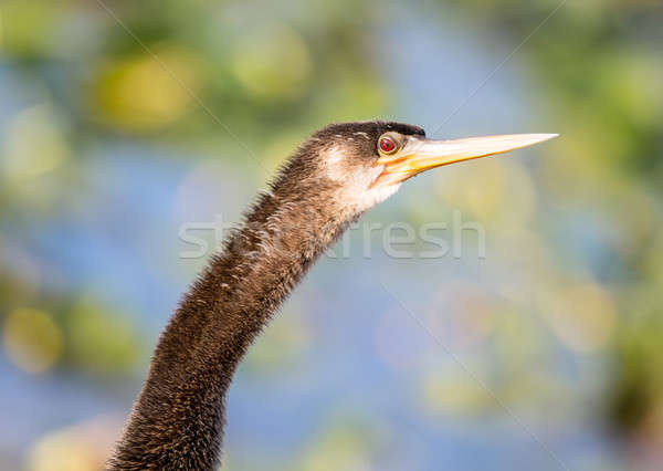 Close up of Anhinga bird in Everglades Stock photo © backyardproductions
