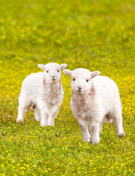 Twin baby lambs in flower meadow Stock photo © backyardproductions