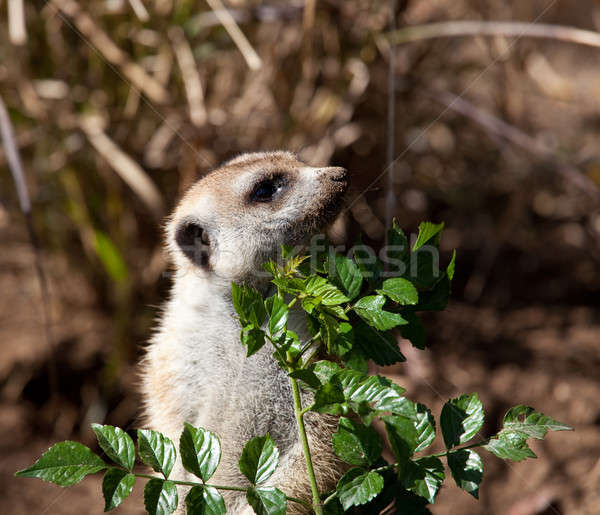 Small Meerkat peeping around leaves Stock photo © backyardproductions