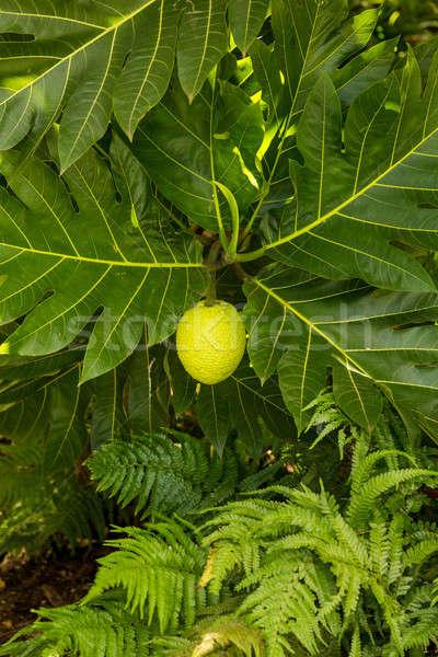 Stock photo: Breadfruit tree growing in plantation in Kauai