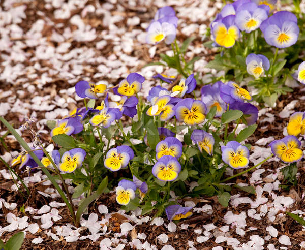 Cherry blossom petals landing among violas  Stock photo © backyardproductions
