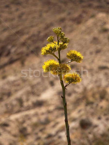 Növények virágzik sivatag tag agavé család Stock fotó © backyardproductions
