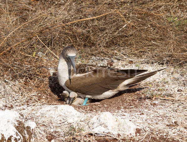 Curious blue footed booby seabird and chick Stock photo © backyardproductions