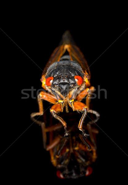 Stock photo: Macro image of cicada from brood II