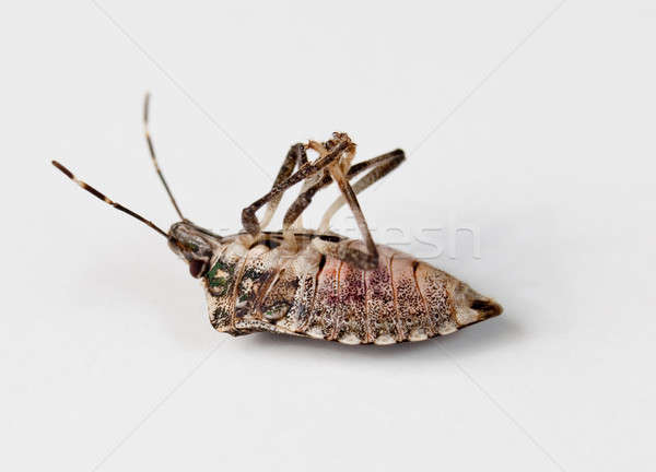 Stink bug lying on back Stock photo © backyardproductions