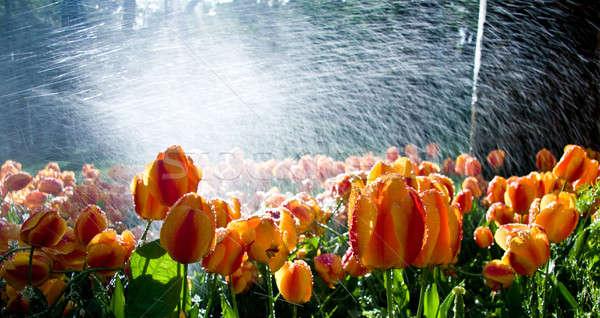 Tulips against spray Stock photo © backyardproductions
