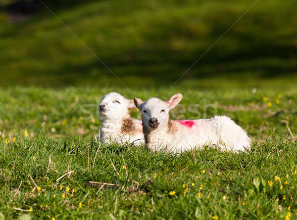 пару луговой два белый шерсти области Сток-фото © backyardproductions