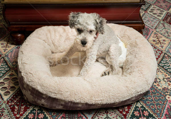 Old grey dog wearing a doggy diaper Stock photo © backyardproductions