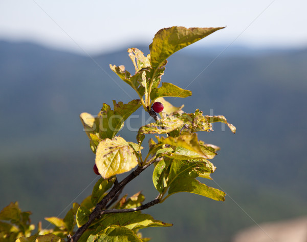 Single red berry overlooking Shenandoah valley Stock photo © backyardproductions