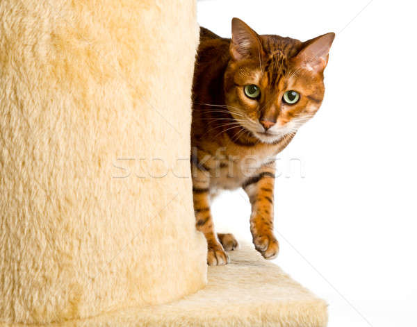 Bengal kitten creeps round corner of climbing frame Stock photo © backyardproductions
