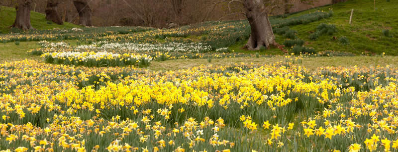 Narcissen bomen landelijk panorama banken narcis Stockfoto © backyardproductions