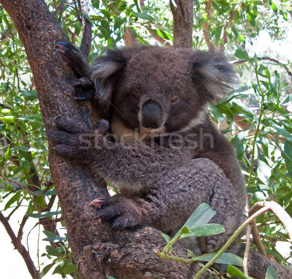 Koala Bear in tree Stock photo © backyardproductions