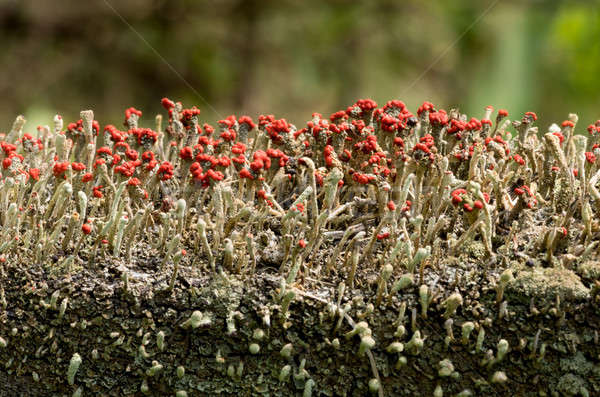 Cladonia cristatella or British Soldiers Lichen Stock photo © backyardproductions