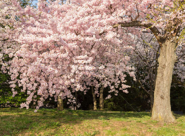 Stock photo: Detail photo of japanese cherry blossom flowers and tree