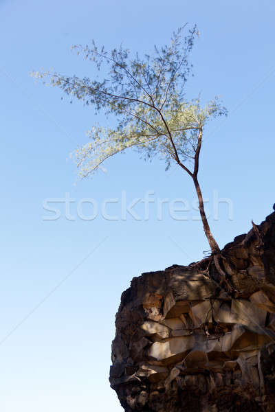 Tree perching on barren cliff face Stock photo © backyardproductions