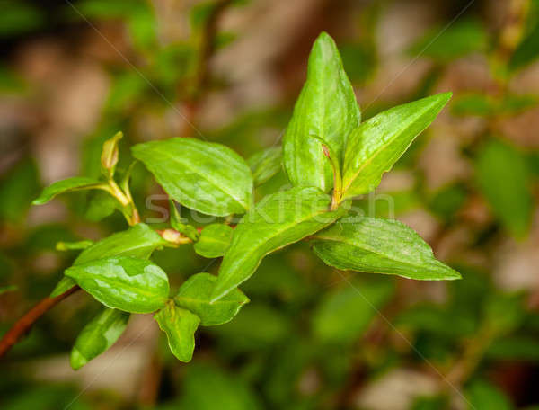 Macro Vietnamese Coriander herb plant Stock photo © backyardproductions