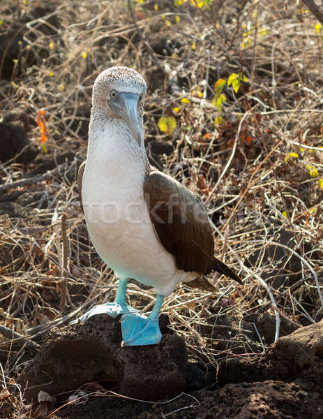 Curious blue footed booby seabird on Galapagos Stock photo © backyardproductions