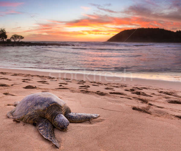 Sea Turtle at Moloa'a Beach, Kauai, Hawaii Stock photo © backyardproductions
