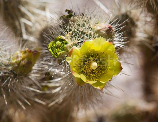 Namlu kaktüs bitki çöl parlak sarı çiçek Stok fotoğraf © backyardproductions