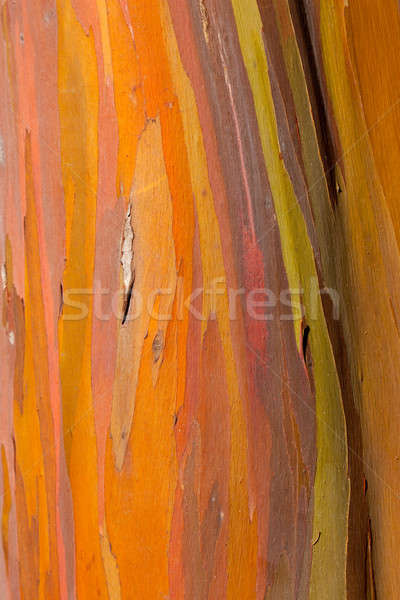Trunk of eucalyptus tree Stock photo © backyardproductions