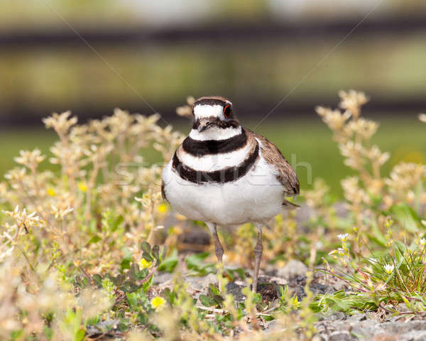 Killdeer bird defending its nest Stock photo © backyardproductions