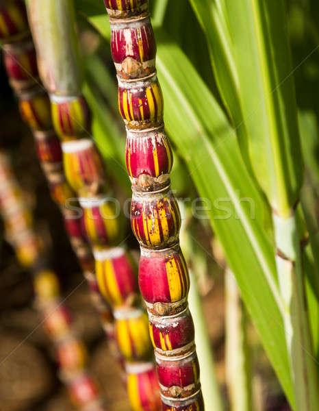 Canne usine croissant plantation insolite rouge Photo stock © backyardproductions