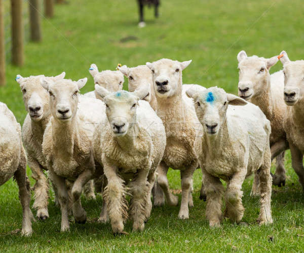 Sheep running in meadow in New Zealand Stock photo © backyardproductions