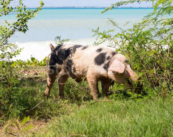 Wild pig on beach in St Martin Stock photo © backyardproductions