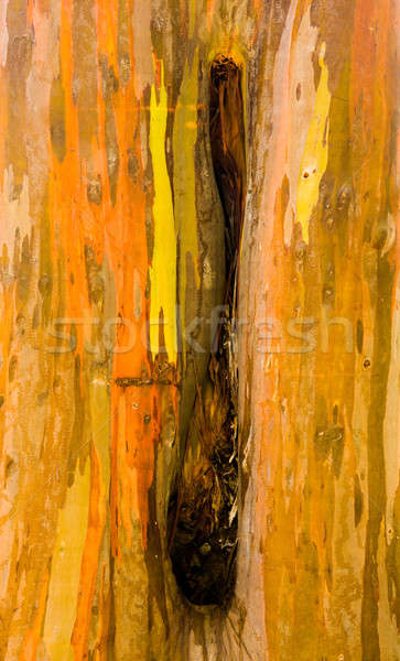 Detail of colorful bark of Rainbow Eucalyptus tree Stock photo © backyardproductions