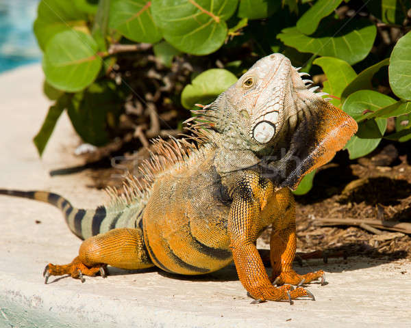 Iguana mating dance Stock photo © backyardproductions