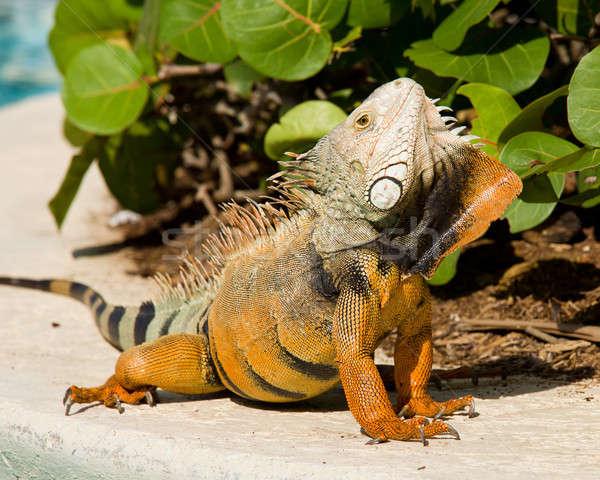Leguaan dans mannelijke hoofd oranje groene Stockfoto © backyardproductions