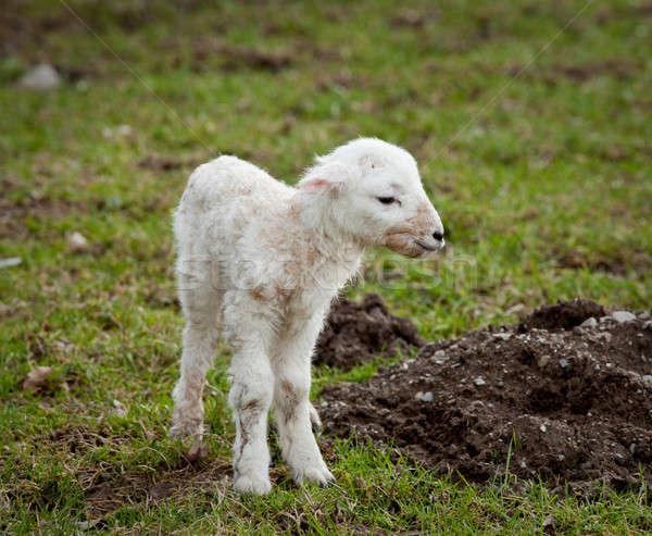 új született bárány fiatal újonnan legelő Stock fotó © backyardproductions