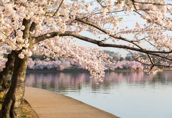 Stock photo: Detail of japanese cherry blossom flowers