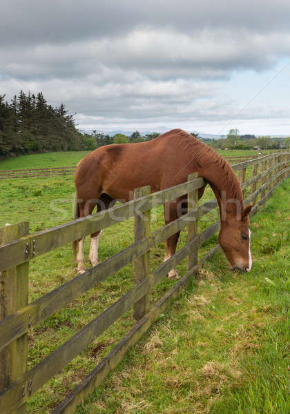 Brown horse stretches to reach grass Stock photo © backyardproductions