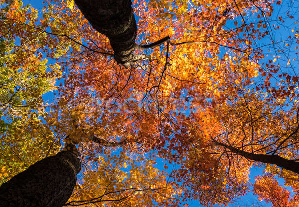 Looking up at bright sunlit fall leaves Stock photo © backyardproductions