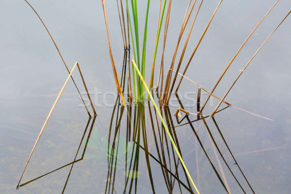 Stock photo: Empty bed of reeds in Everglades Florida