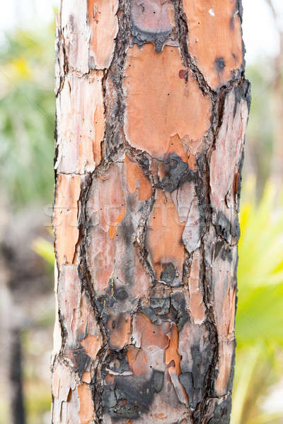 Close up of burned pine tree trunk in Florida Stock photo © backyardproductions
