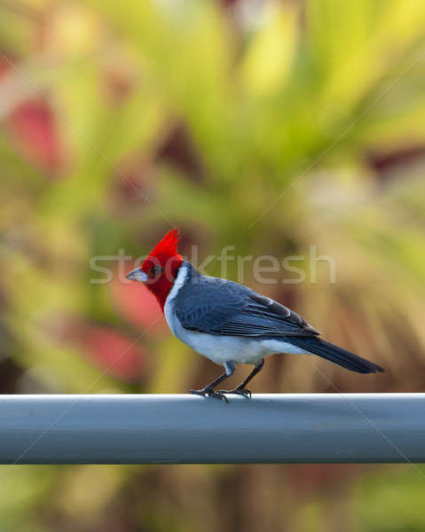 Red crested cardinal on fence in Kauai Stock photo © backyardproductions
