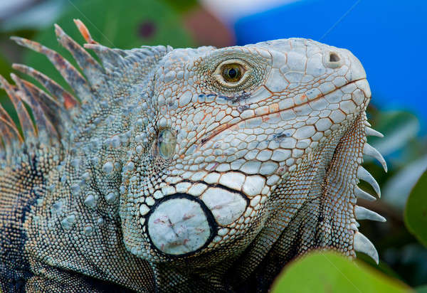Eye of Iguana Stock photo © backyardproductions